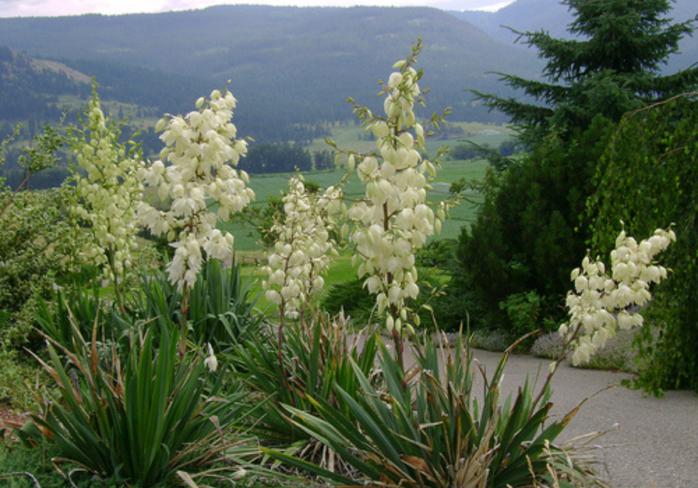 Ivory Tower Yucca flower