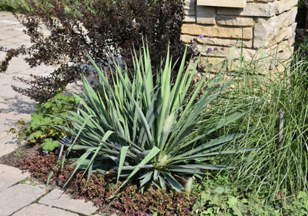 Ivory Tower Yucca care