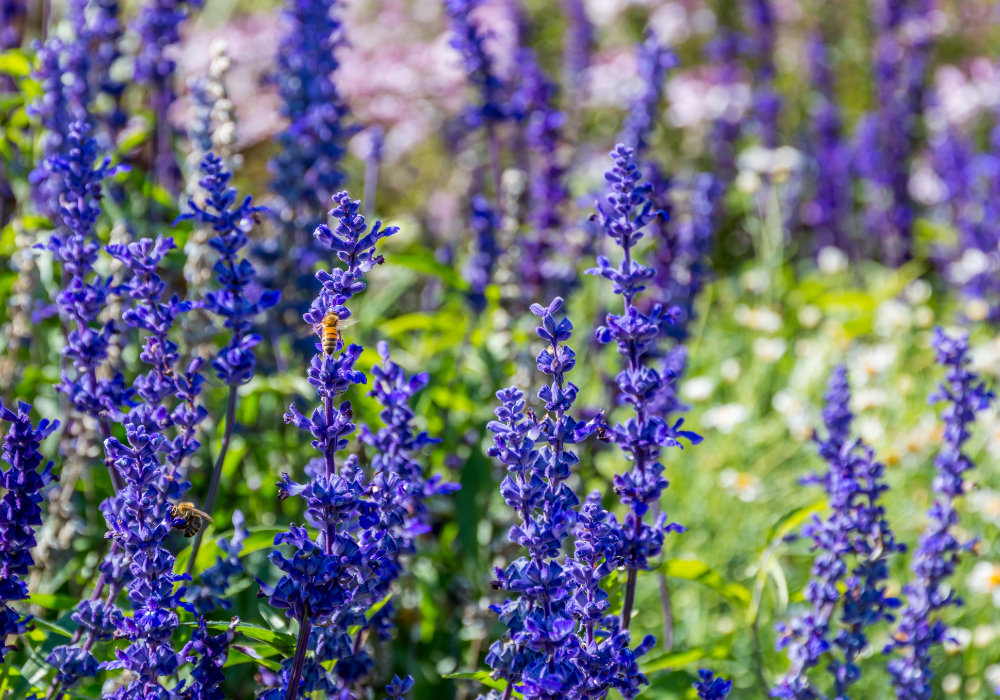 Mystic Spires Blue Salvia and bees