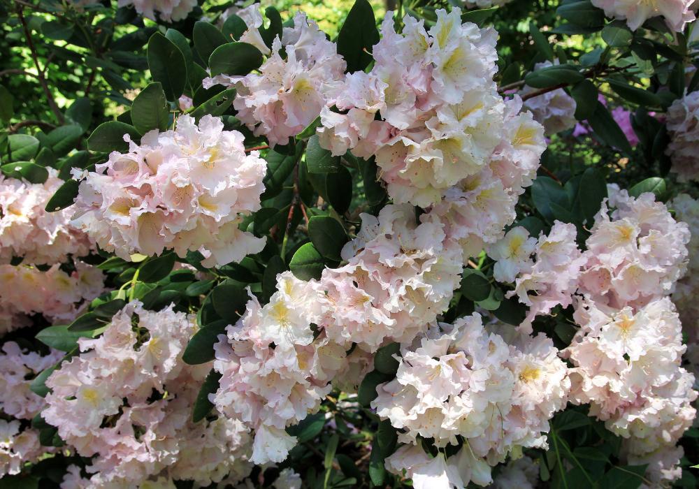Rhododendron yakushimanum 'Crete' care
