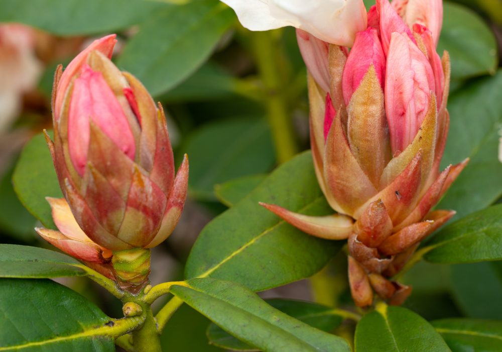 September Song Rhododendron buds