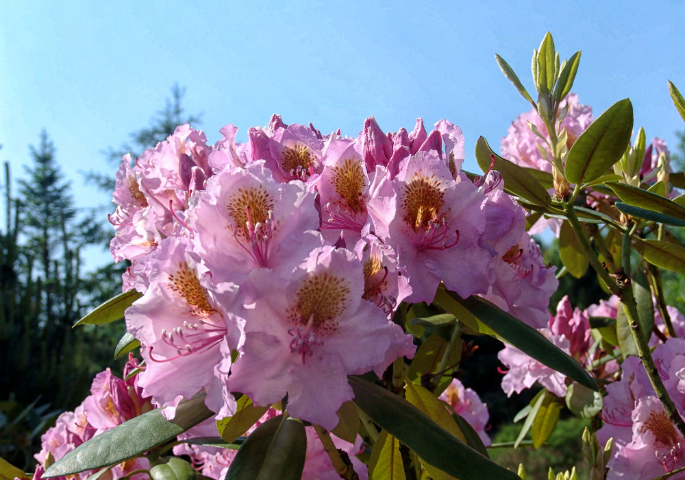 September Song Rhododendron care