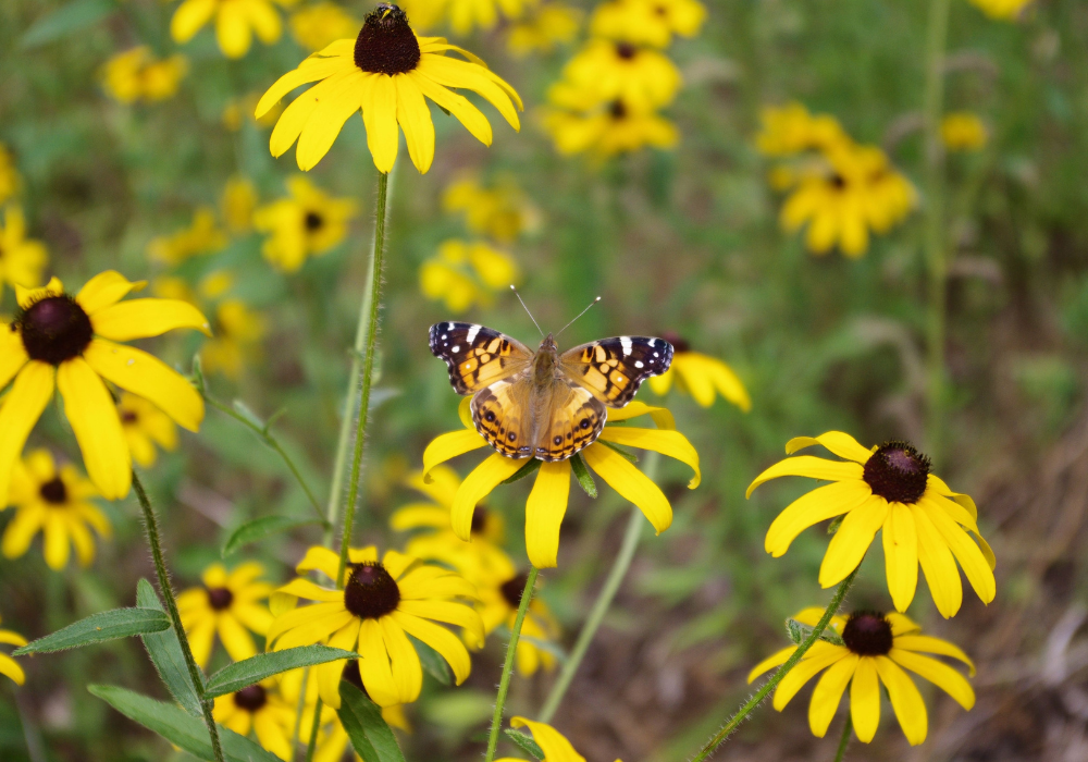 SmileyZ™ Sunny Black-Eyed Susan and butterfly