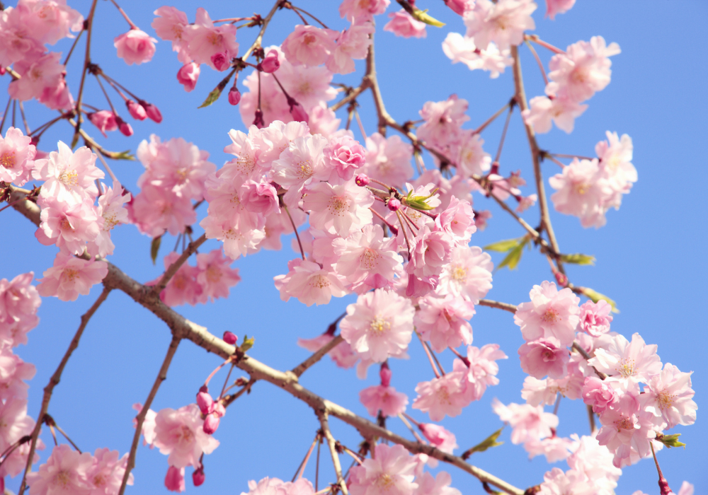 Snow Fountains® Weeping Cherry care