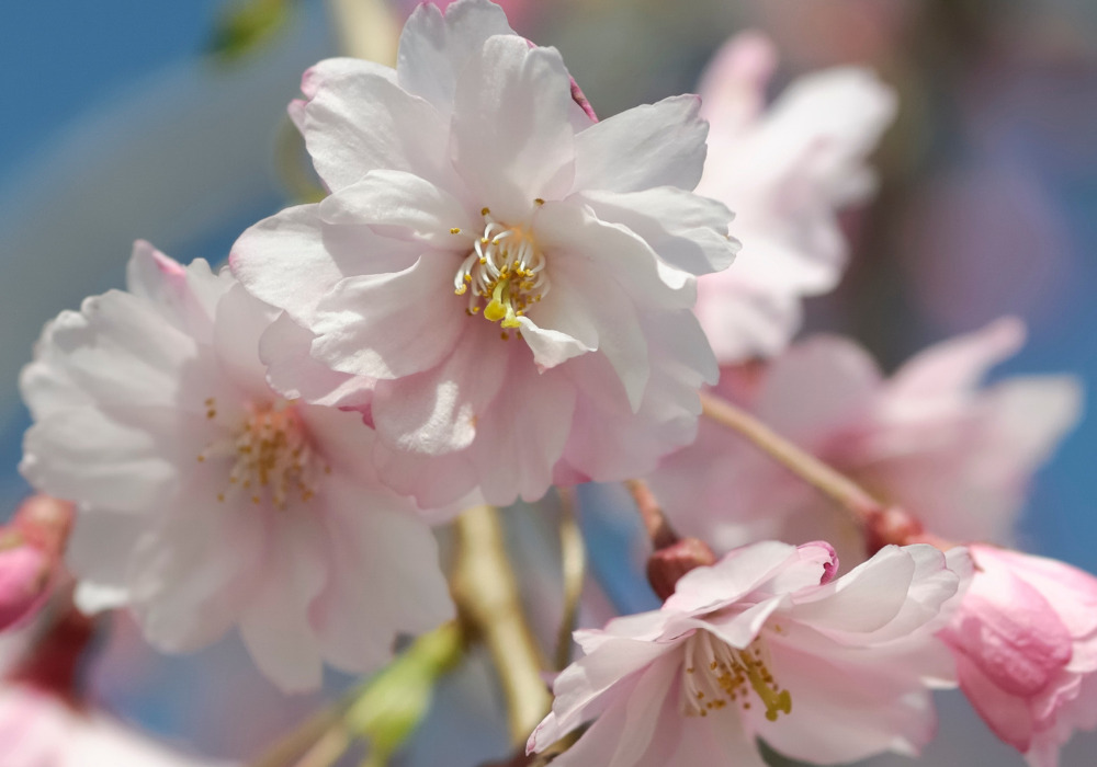 Snow Fountains® Weeping Cherry up close